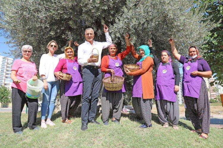 Başkan Tarhan, 1204 yaşındaki anıt ağaçtan zeytin topladı